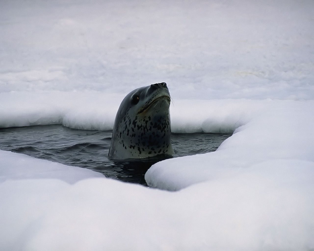 As there was no ice on the sea, we didn't see this one, but it gives a good impression